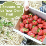 5 Reasons to Pick Your Own Fruit with Your Kids